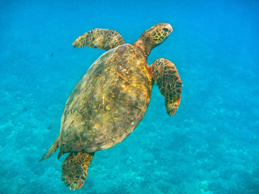 Green Sea Turtle off Waianae coast, Oahu<br /> July 2012