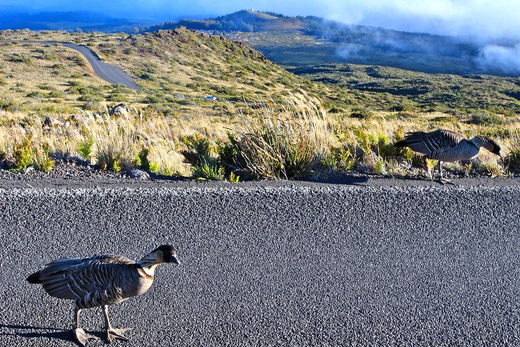 Nene birds -- the state birds of Hawaii