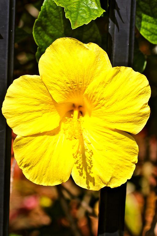 Yellow Hibiscus, Oahu