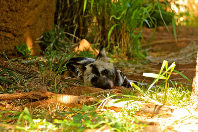 African wild dog at the Honolulu zoo.  Didn't get to see these in Africa, and they are so elusive at the Philly zoo that I sometimes doubt there are actually any in the exhibit.