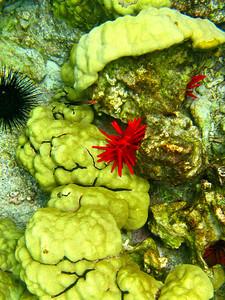 Coral in Kealakekua Bay, Big Island