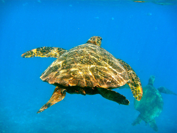 Green Sea Turtle, Waianae