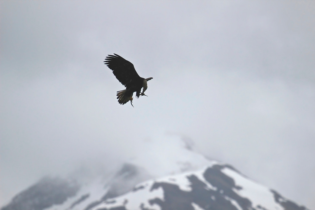Bald Eagle losing its lunch