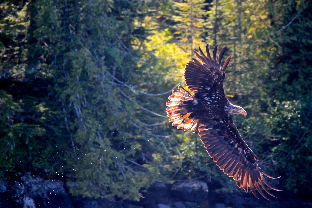 ketchikan Eagle