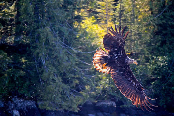 ketchikan Eagle