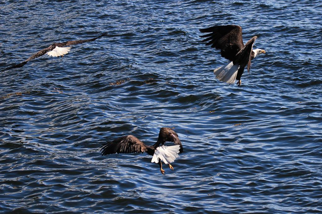 Bald Eagle<br /> Ketchikan, Alaska
