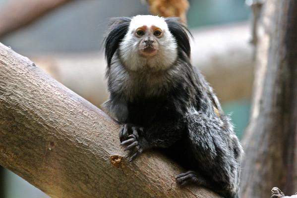 Geoffroy's marmoset