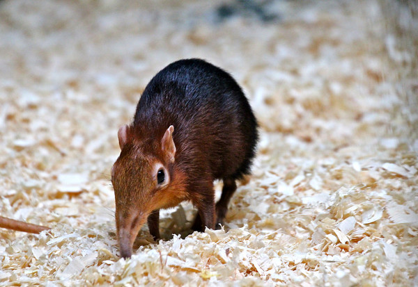 Black & rufous giant elephant shrew