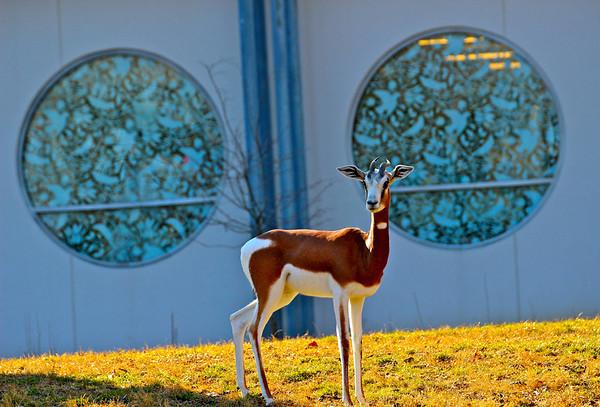 Mhorr gazelle