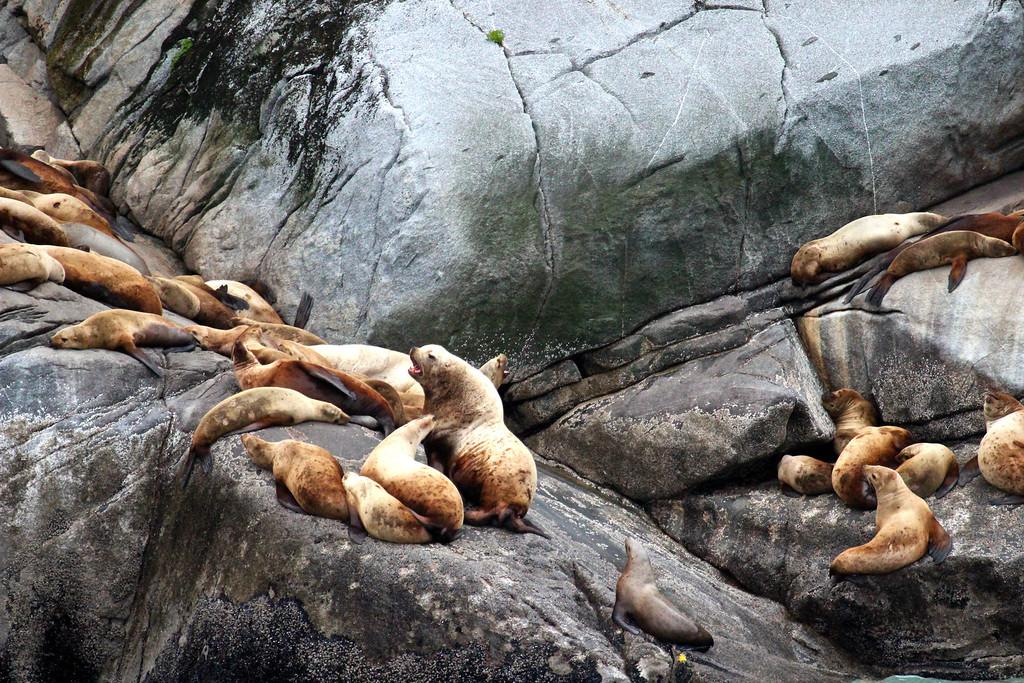 Steller Sea Lions<br /> Off Skagway, Alaska<br /> June 2013