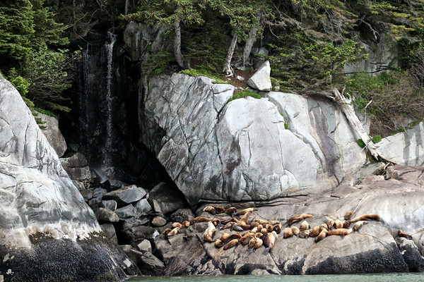 Steller Sea Lions near Davidson Glacier