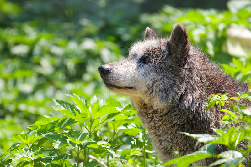 Speedwell Forge Wolf Sanctuary