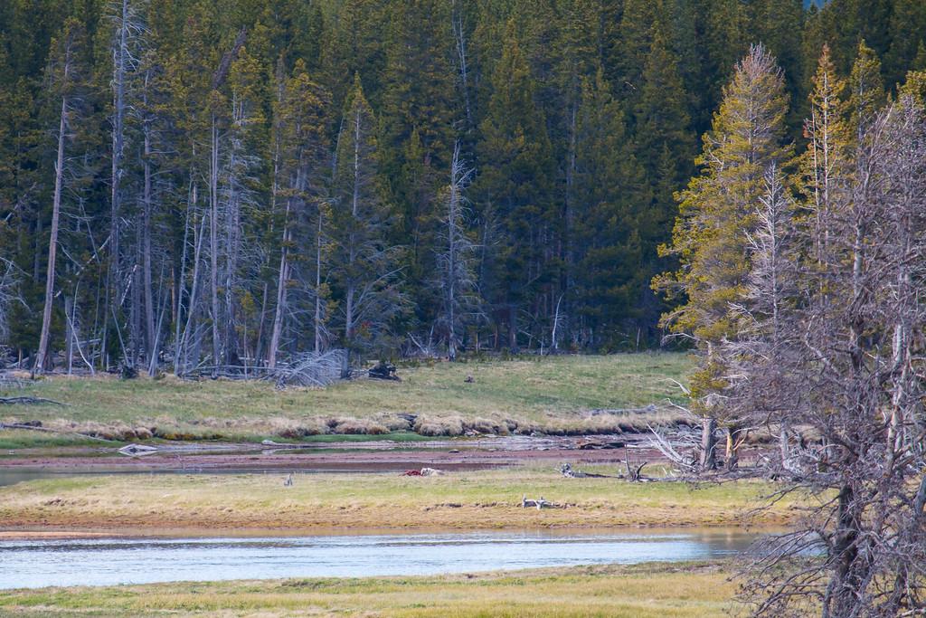 In the distance, a wolf devours an elk carcass