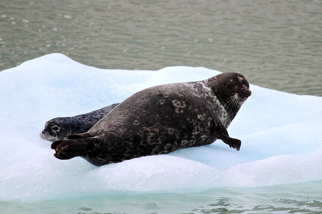 Seal and pup at Tracy Arm Fjords