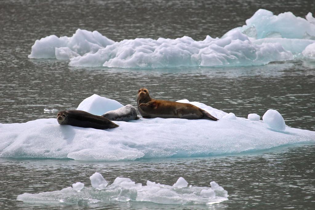 Harbor Seals<br /> Tracy Arm Fjord<br /> Near Juneau, Alaska<br /> June 2013