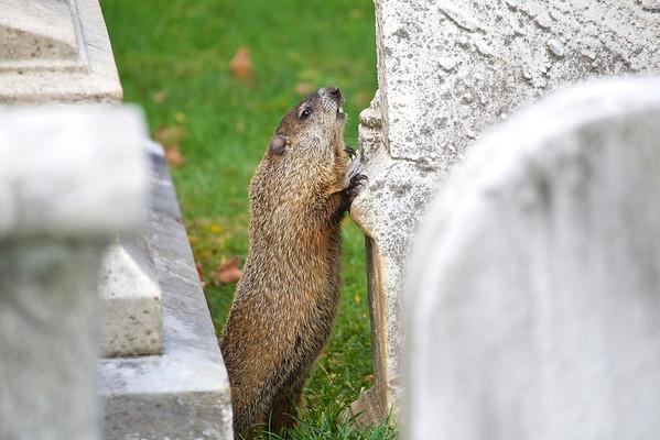 Twilight groundhog