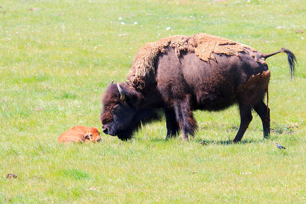 Bison greets her just-born calf
