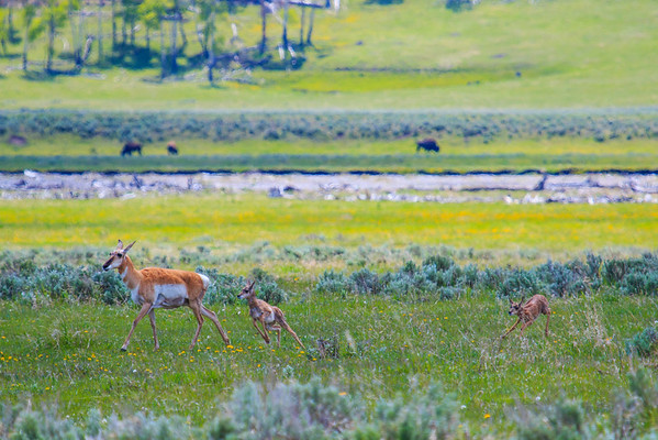 Pronghorn family on the move