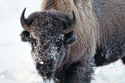 Morning bison
