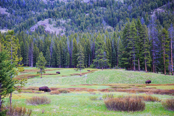 "Lamar Valley, ""America's Serengeti."""