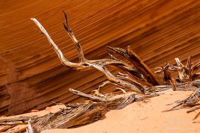 Juniper roots against lines of sandstone