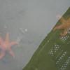Six-legged starfish