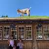 Goat.  On. Roof.