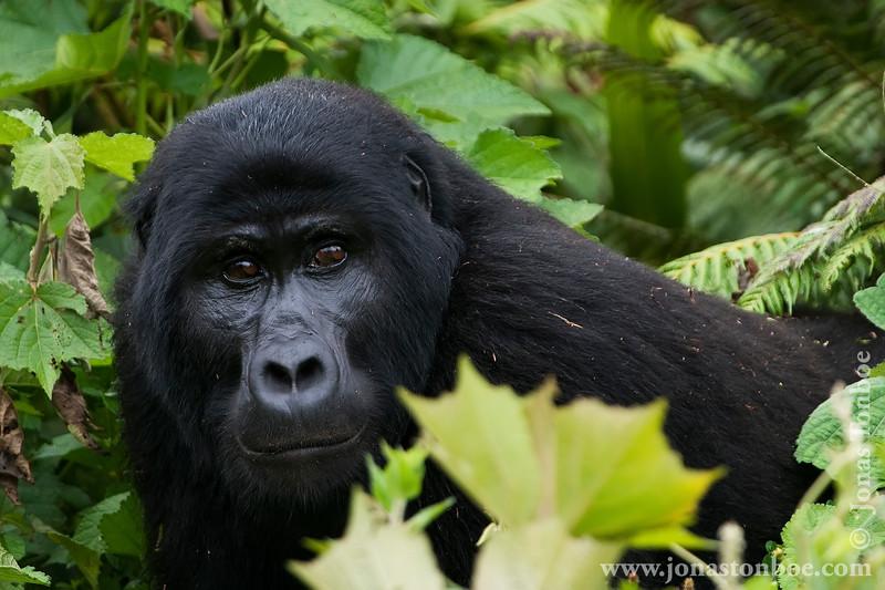 Male Silverback Mountain Gorilla