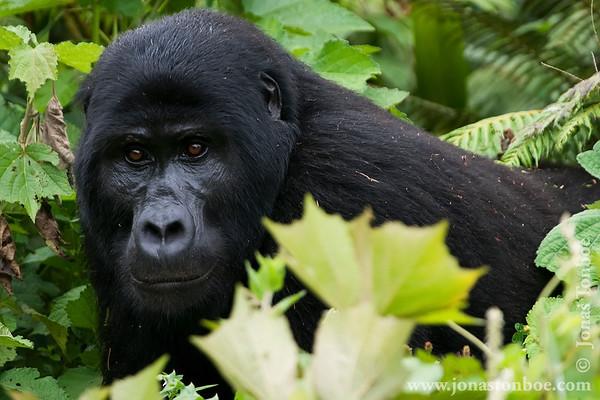 Bwindi Impenetrable National Park: Gorilla trek - male silverback Mountain Gorilla (Gorilla beringei beringei)
