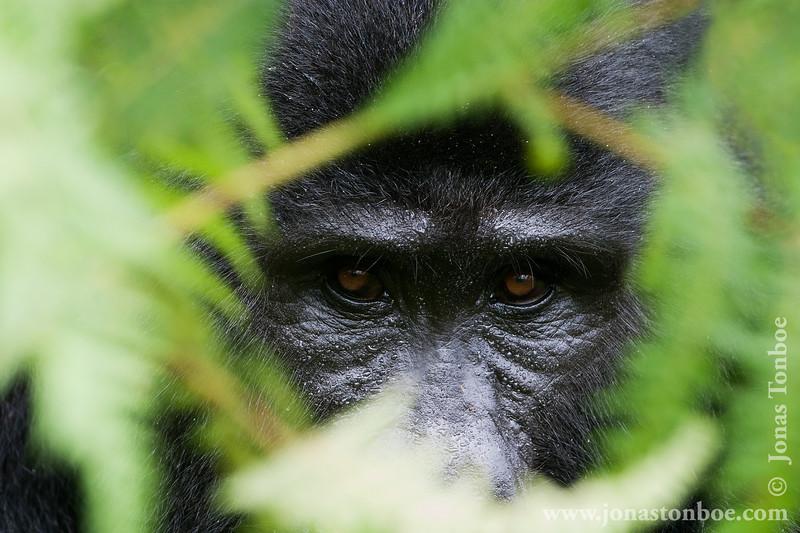 Mountain Gorilla Peering Through the Vegetation