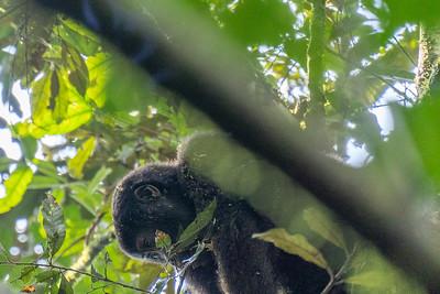 A juvenile mountain gorilla in a tree