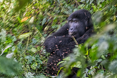 The silver back mountain gorilla before he moved away