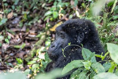 The black back gorilla