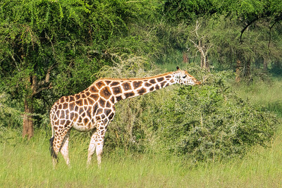 Rothschild's giraffe which is my favorire of all the giraffe subspecies.  It is found in Uganda and the Lake Baringo area in Kenya