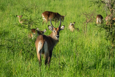 Waterbuck family in Kidepo Valley National Park