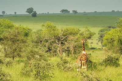 Giraffes and the beauty of Kidepo Valley National Park