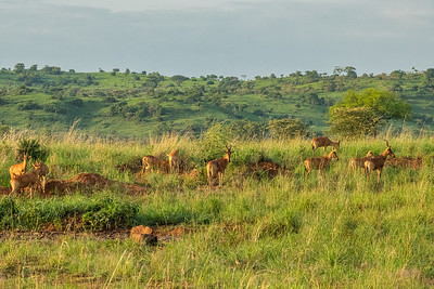 Hartebeest on the savannah of Kidepo Valley National Park