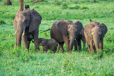 Elephants are very protective of their babies