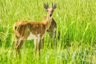 grysbuk in Murchison Falls National Park