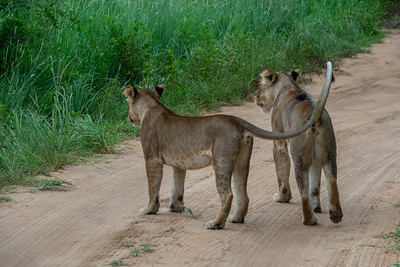 These are 2 of the 6 lion we saw emerge from the bush and the tree