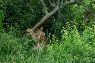 Lion about to climb a tree