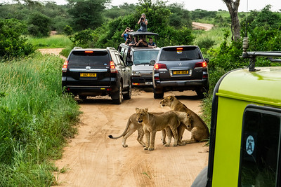This is about how crowded it got in Murchison Falls when lions were seen