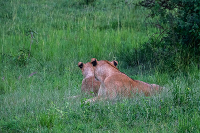 The lions were clearly setting up to hunt later in the evening
