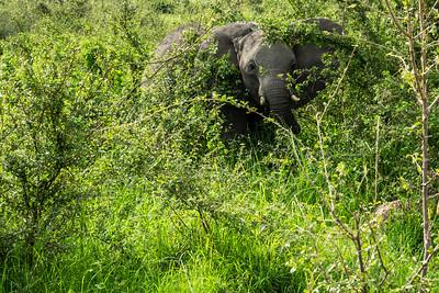 Elephant in the bush near the Albert Nile in Murchison Falls National Park