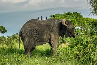 Elephant near the Albert Nile in Murchison Falls National Park