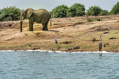 Some of the wildlife drawn to the shores of this channel in Queen Elizabeth National Park.  Elephant with yellow billed stork and goliath heron