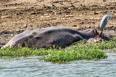 Mother hippo and baby with heron