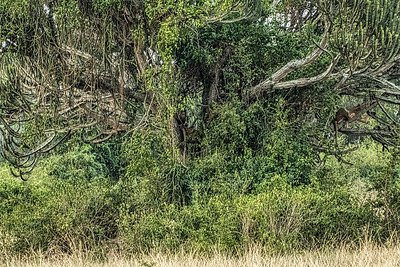How many lions do you see in this tree?