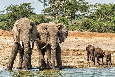 The buffalo look so small next to these young bull elephants