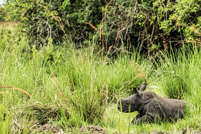 Here is the 2-month old baby rhino.  Mothers and babies are not tracked unti the baby is  3 months old.